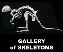 3-boton-gallery-of-skeletons