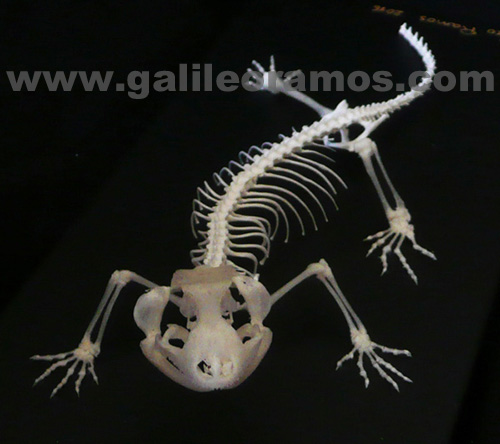 Eublepharis angramainyu 2016 06 Skeleton