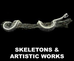 Boton Skeletons and Artistic Works for Sale